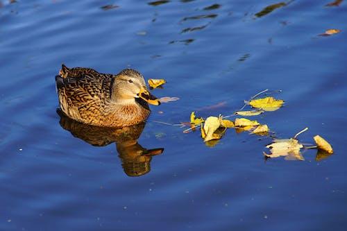 Бесплатное стоковое фото с вода, дикая природа, животное, красивый