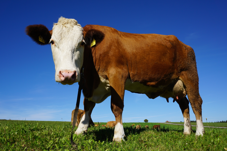 Portrait of Cow Standing in Pasture