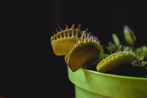 Бесплатное стоковое фото с венера мухоловка, завод, зеленый, острый
