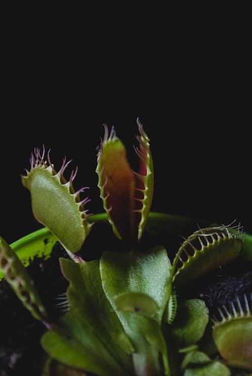 Бесплатное стоковое фото с венера мухоловка, завод, колючий
