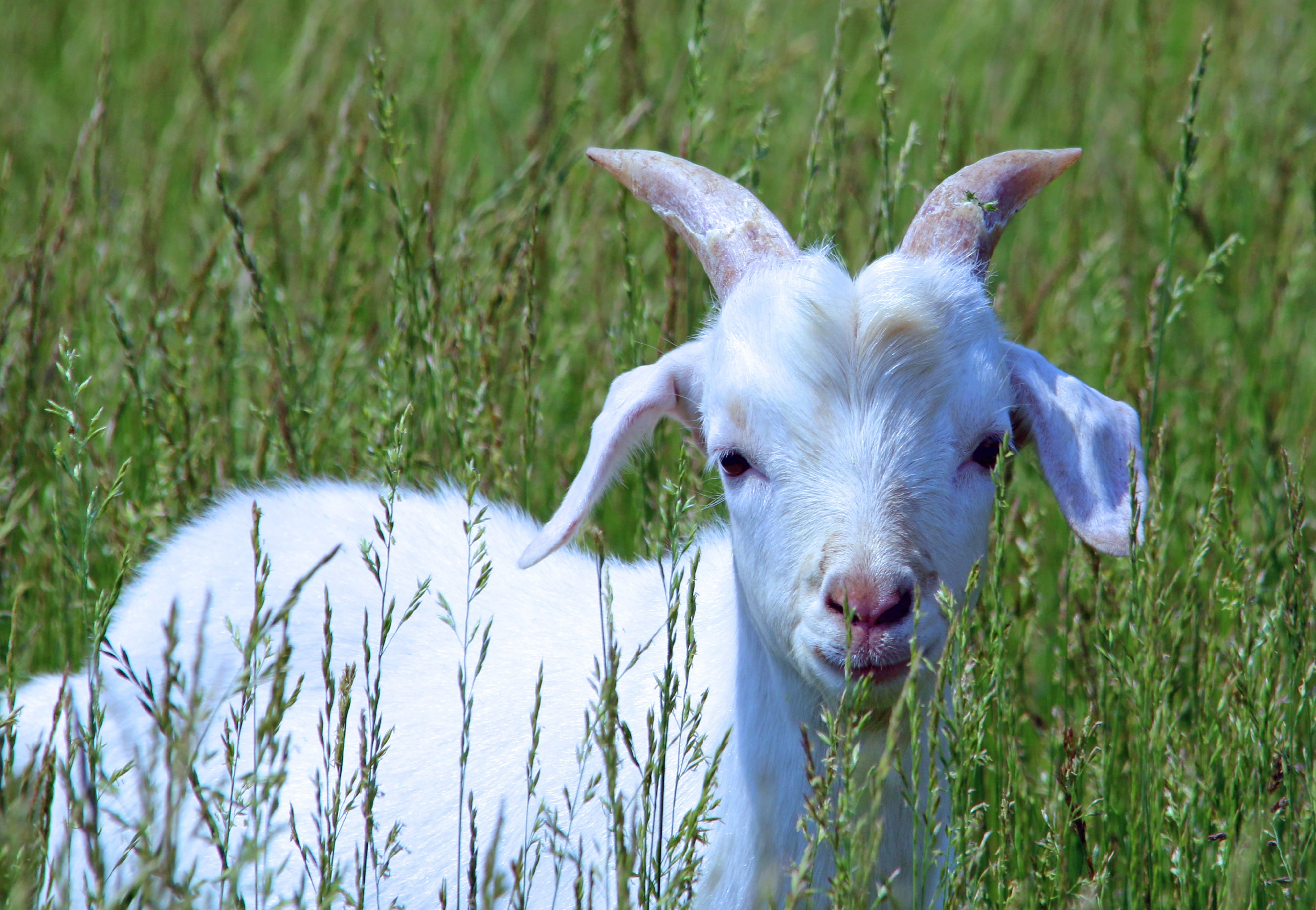 Close-up Portrait of Sheep on Field