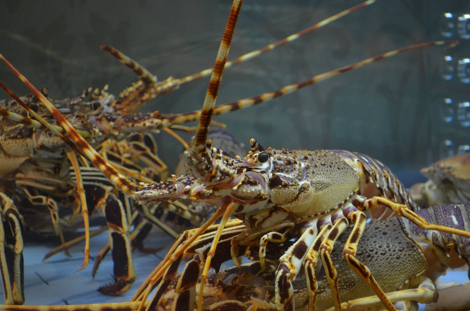 Live lobster close up