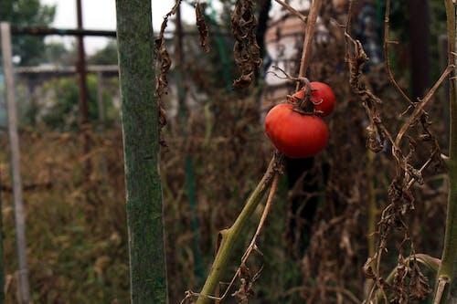 Free stock photo of garden, plant, tomato