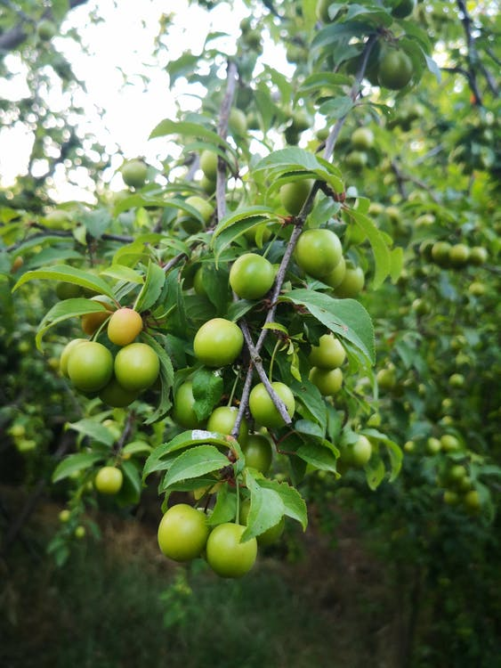 Green Fruit Tree Close-up Photography