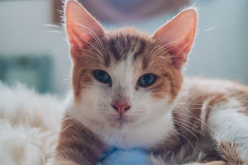 Darmowe zdjęcie z galerii z koci, kot, leżący, pysk kota