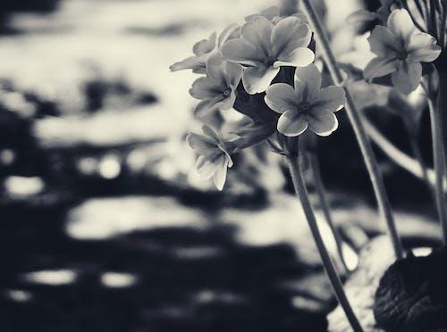 Ilmainen kuvapankkikuva tunnisteilla esikko, kasvikunta, kukat, luonto