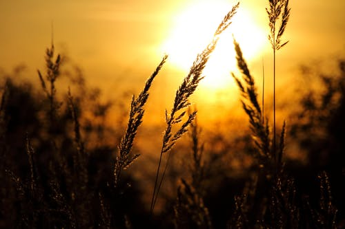 Close-up of Wheat Field Against Sky at Sunset