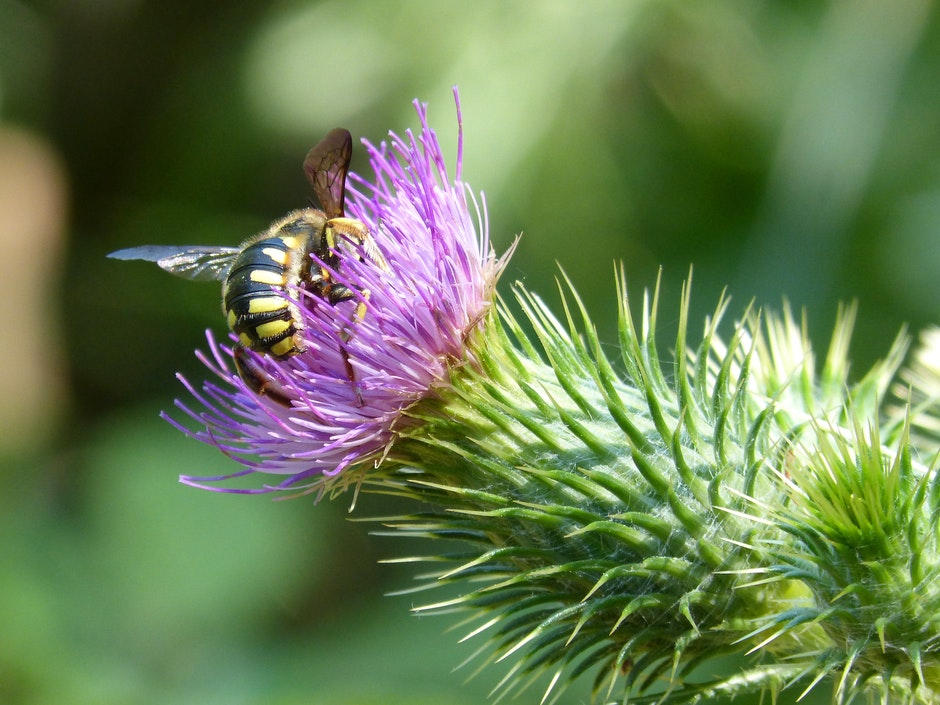 Close-up of Bee on Thistle Flower