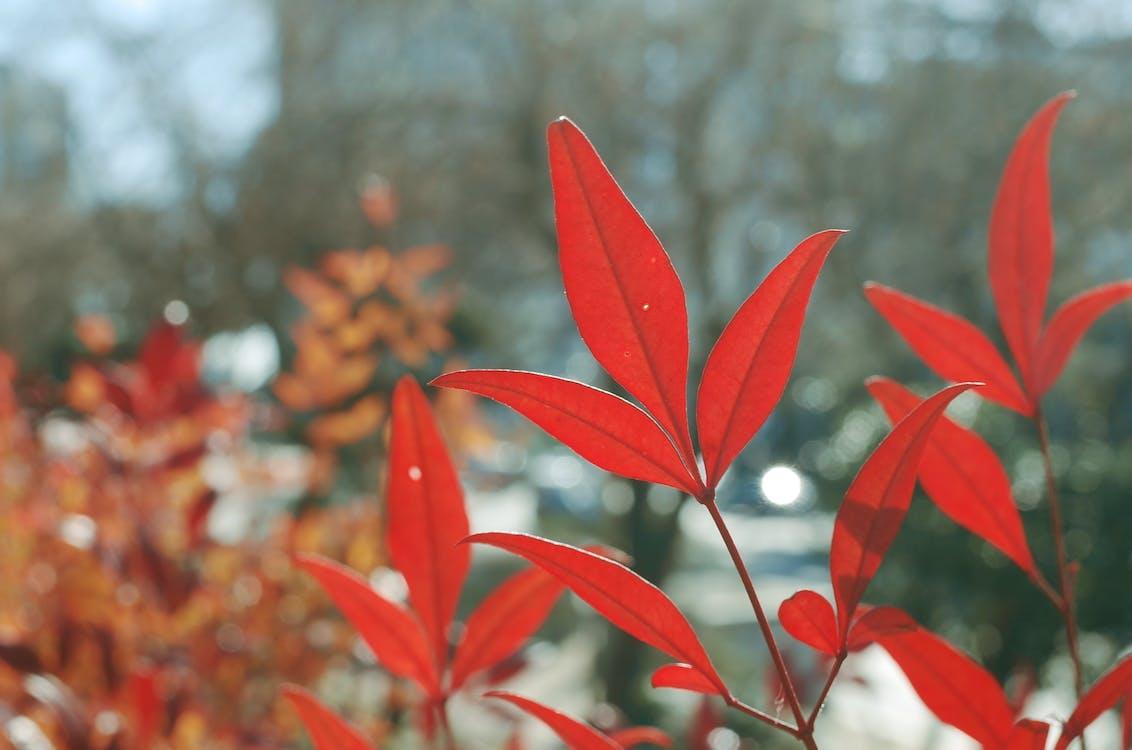 color de la tardor, fulles vermelles, llum del dia