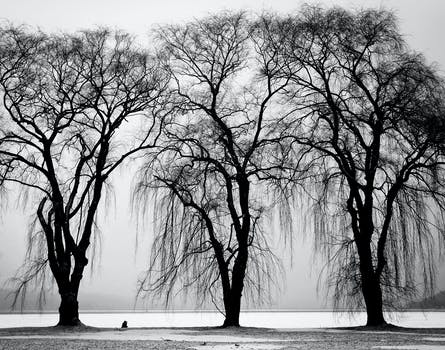 Free stock photo of black and white trees winter branches