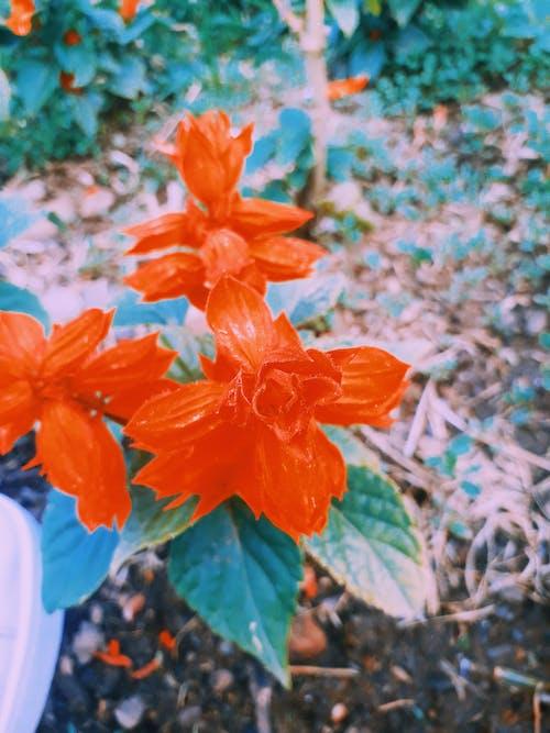 Δωρεάν στοκ φωτογραφιών με αεροφωτογράφιση, Καμπανούλα, λουλούδια, μπλε λουλούδι