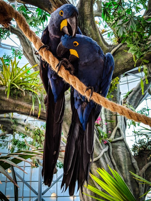 Photo of Two Hyacinth Macaws Perched on Rope