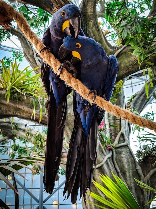 Δωρεάν στοκ φωτογραφιών με macaws, γαλάζιο macaws, δέντρο, εξωτικός
