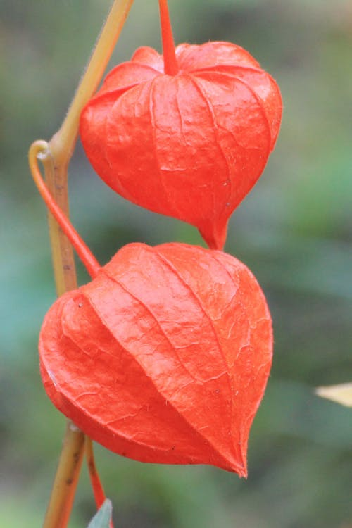Close-up of Red Leaf Hanging on Plant