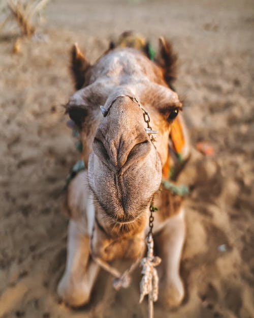 Close-up Photo of Camel Lying Down on Sand