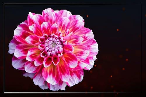 大麗花, 白色, 紅色, 開花 的 免費圖庫相片