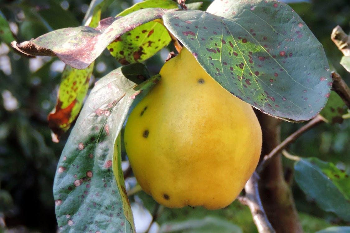 Foto profissional grátis de amarelo, árvore, fruta