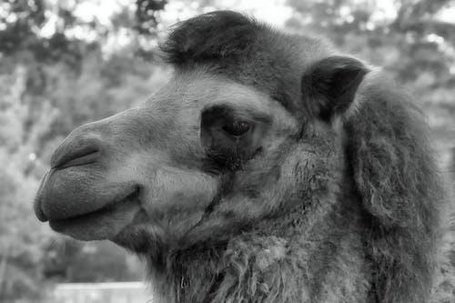 deve, hayvan, memeli içeren Ücretsiz stok fotoğraf