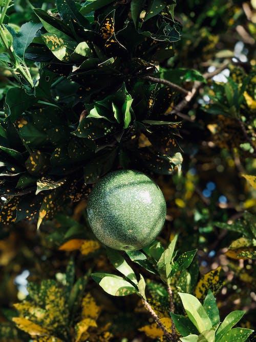 Fotos de stock gratuitas de casa del árbol, maracuyá, naturaleza, plantas verdes