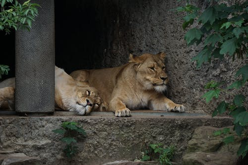 Two Lions on Concrete Floor Photo