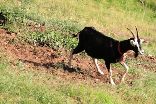 Foto profissional grátis de bode, campo, campo verde, gramado