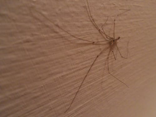 Free stock photo of arachnid, creature, insect, long legs