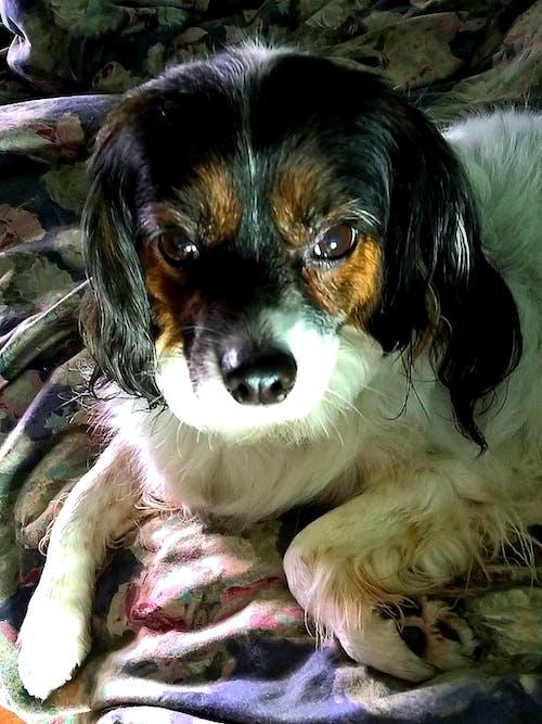 Immagine gratuita di animale, cane, naso, pensando