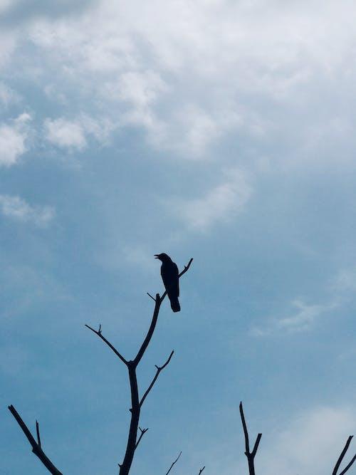 Immagine gratuita di bellezza nella natura, cielo azzurro, corvo, fotografia di animali