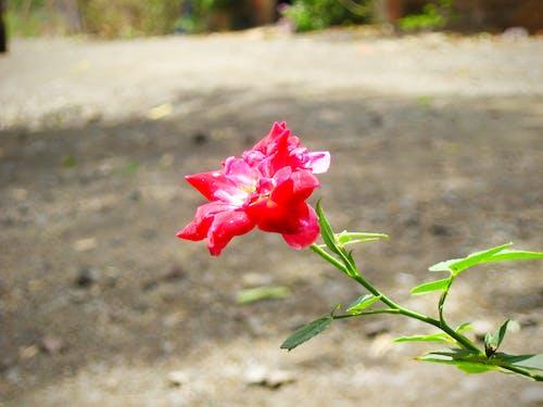 Безкоштовне стокове фото на тему «троянда, червона троянда»
