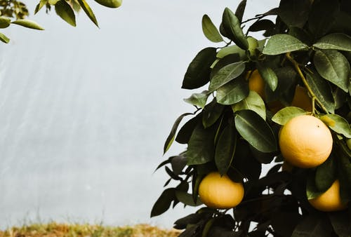 Yellow Fruits Growing on Tree