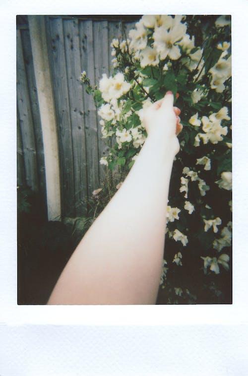 Δωρεάν στοκ φωτογραφιών με polaroid, κήπος, λουλούδια, χέρι