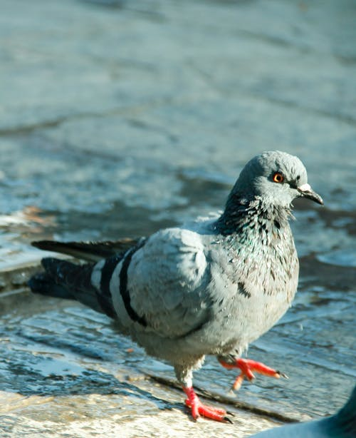 Foto stok gratis burung, burung dara