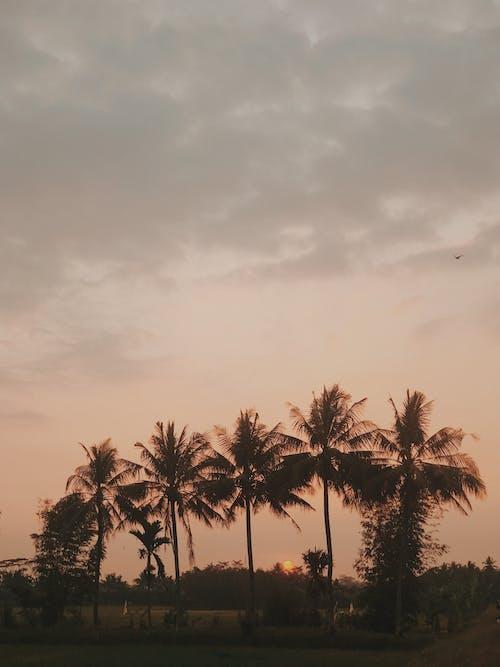 Photos gratuites de arbres, aube, cocotiers, coucher de soleil