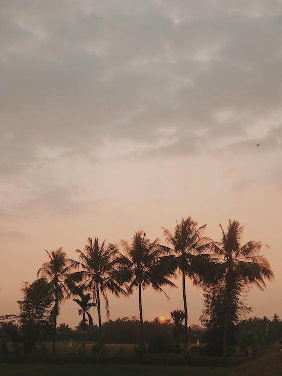 ココナッツの木, ヤシの木, 夕暮れ