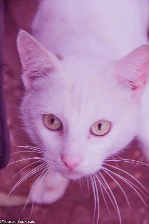Ilmainen kuvapankkikuva tunnisteilla bouskoura, kissa, kissat, maroc