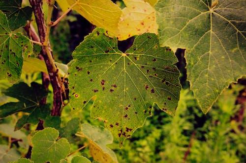 Fotobanka sbezplatnými fotkami na tému hroznového listu, príroda, zelený list