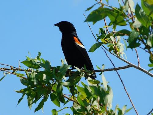 Fotos de stock gratuitas de pájaro negro
