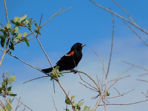 Fotos de stock gratuitas de mirlo de alas rojas