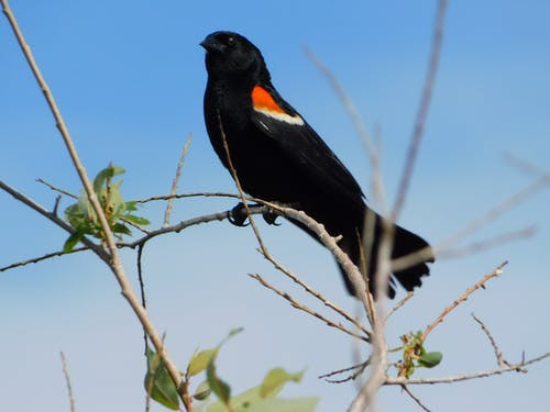 Безкоштовне стокове фото на тему «redwing blackbird»