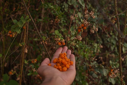 Selective Focus Photography of Orange Berries on Hand Palm Beside Berry Plants