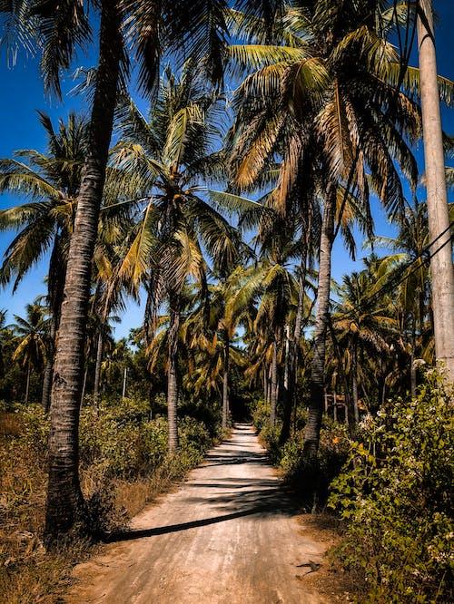 Δωρεάν στοκ φωτογραφιών με δέντρα, δέντρα καρύδας, μονοπάτι, περιβάλλον