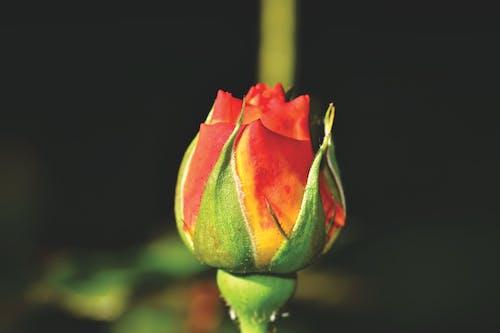 คลังภาพถ่ายฟรี ของ ดอกกุหลาบ, ดอกตูม, ดอกไม้
