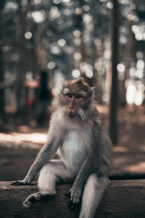 Grey and Brown Monkey Sitting on Wooden Fence