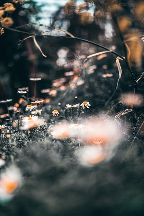 Kostenloses Stock Foto zu blühen, blüte, blütenblätter, bokeh