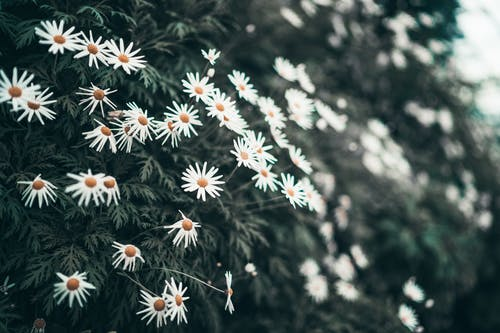 Photo of blooming white and yellow daisy flowers