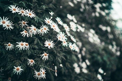 คลังภาพถ่ายฟรี ของ กลีบดอก, การเจริญเติบโต, กำลังบาน, ดอกคาโมไมล์