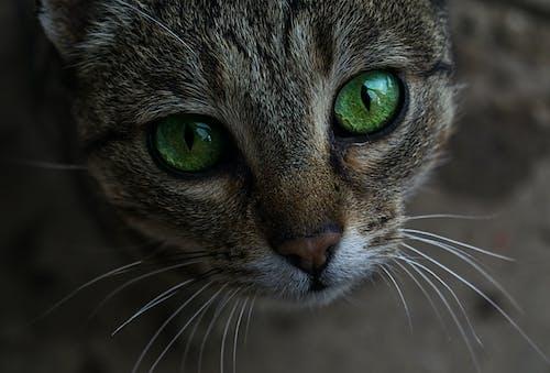 凝視, 哺乳動物, 國內, 家貓 的 免费素材照片