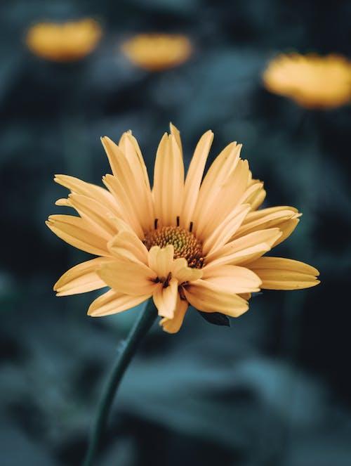 Kostenloses Stock Foto zu blumen, frühlingsblume, gelbe blume, natur