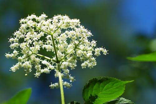 Imagine de stoc gratuită din atenție superficială, flori, flori albe, focalizare selectivă