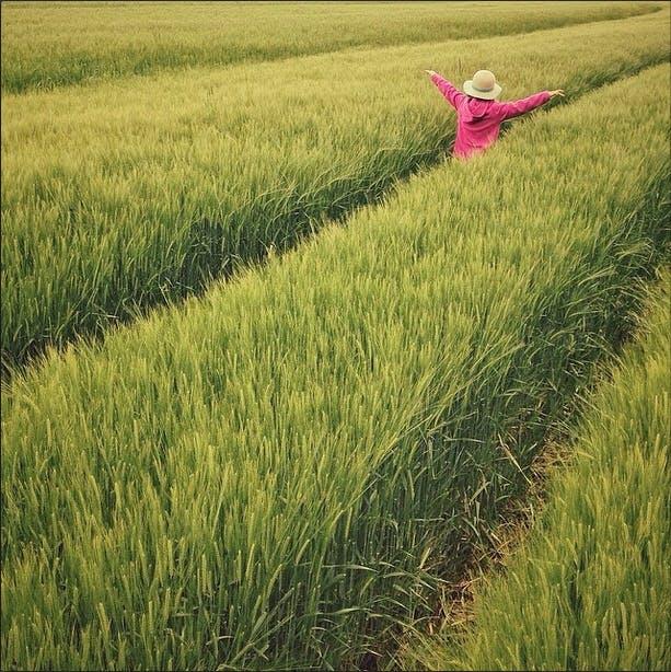 Foto d'estoc gratuïta de Agricultura, arròs, blat, camp